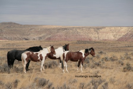 Cody_Mustang_sauvages_02-10-2015_10-02-20.JPG