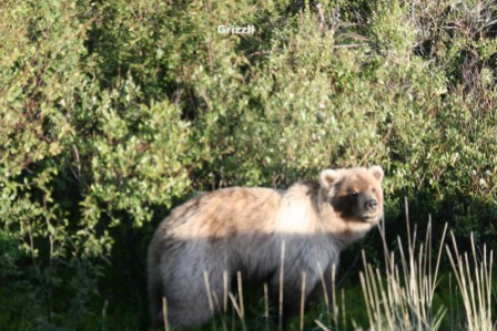 Ours_Grizzlis_Dempster_08-06-2015_06-11-18.JPG