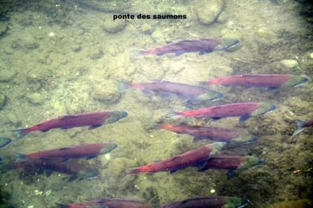 Salmon_spawning_26-06-2015_16-11-40.JPG
