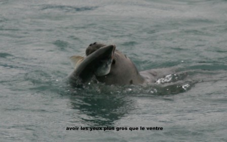 phoques_repas_de_saumons_23-06-2015_17-57-10.JPG